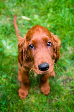 Obedient puppy of irish setter with innocent look