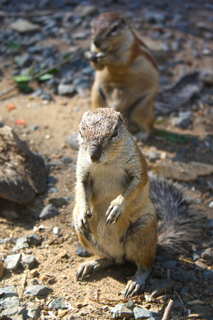 xerus inauris: Standing squirrel with another in the background