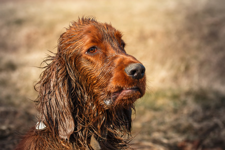 very dirty: Very dirty and wet puppy of irish setter Stock Photo