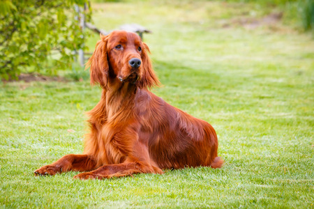 obedient: Obedient nice irish setter laying and waiting