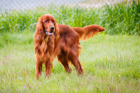 obedient: Obedient nice irish setter standing and waiting Stock Photo