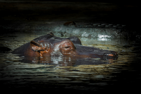 portly: Detail of hippopotamus laying in water
