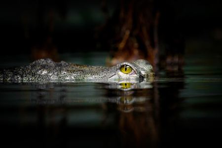 Detail of gavial ´s eye over water with nice reflection