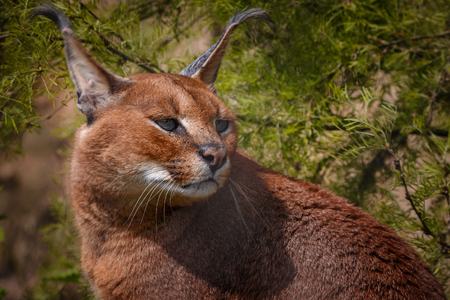 the lynx: Detail of car caracal looking for something interesting