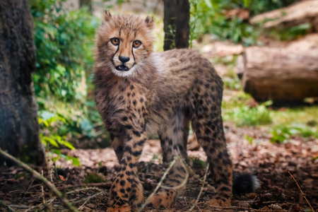 cheetah cub: Cute small cheetah in shadow under trees Stock Photo