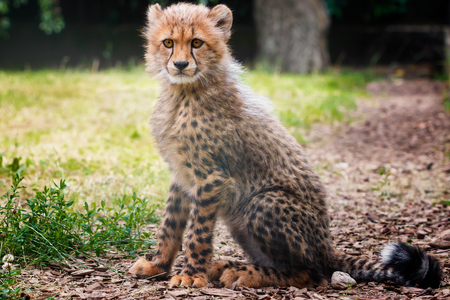 cheetah cub: Cute small cheetah sitting and looking for something interesting Stock Photo