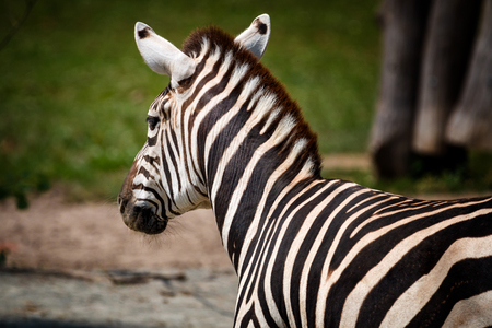Detail of zebra which is looking on another zebras Stock Photo