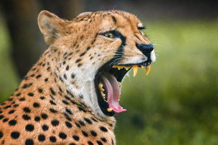 Cheetah showing his dangerous teeth which using during hunting