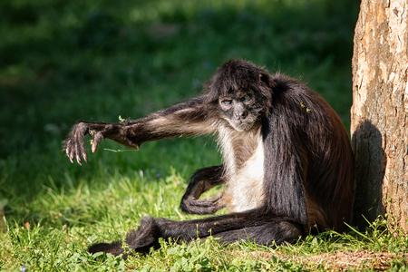 Monkey Ateles Geoffroyi sit at tree and send greetings