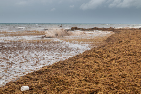 Seaweeds covering beaches at Carribean due to pollution of oceans and it doesn´t look like heaven.