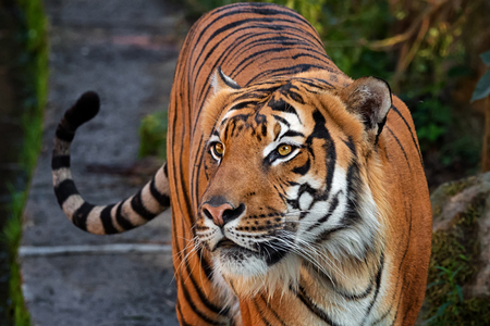 Malayo tigre en busca de botín