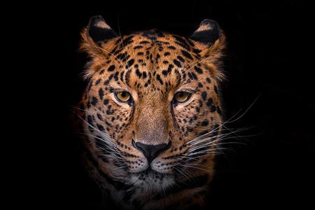 Panthera pardus orientali detail of head on black background