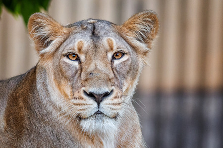 Detail on head of lion female with nice eyes Stock Photo