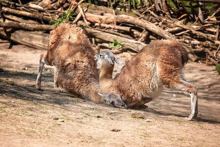 Two lamas fight for domestic position in group