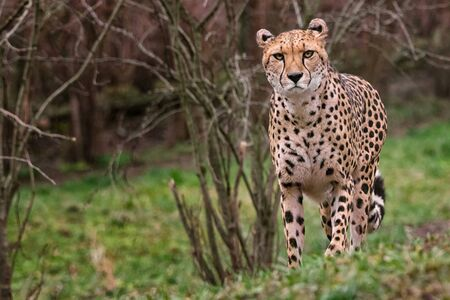 Standing cheetah is ready to start to catch spoil
