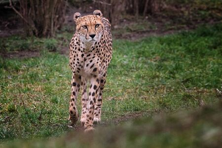 Walking cheetah looking for spoil to be catch