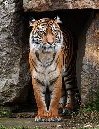 The sumatran tiger looking from his cave