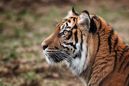 Details of sumatran tiger which looking for spoil