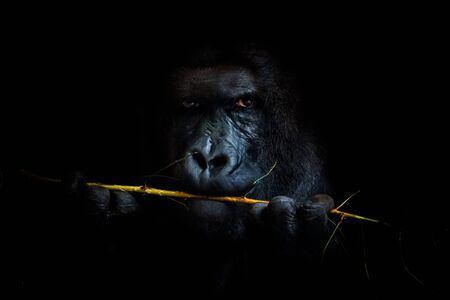 Retrato de fondo negro del gran líder del grupo de gorilas