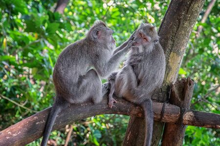 Two macaques sitting on tree in forest and cleaning themself.