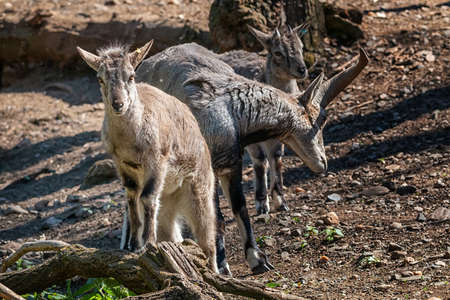 The sichuan goral appears very similar to goats. Standard-Bild