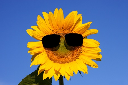 cool sunflower