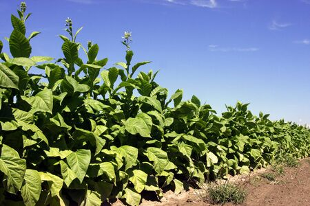 solanaceae: Tobacco plant Stock Photo