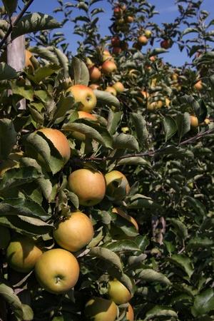 Appelboomgaard Stockfoto