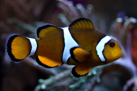 clown fish: Clown fish