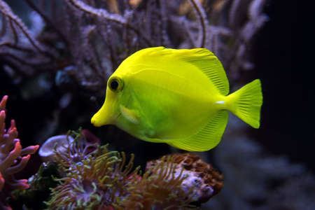 sailfin: Yellow Sailfin Doctor