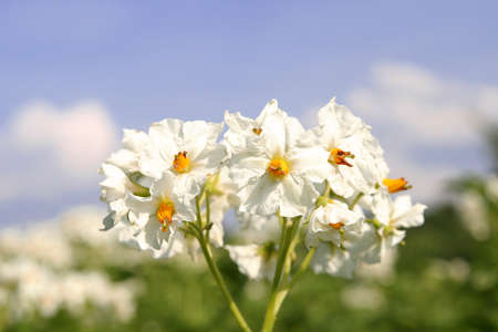 potato flower photo