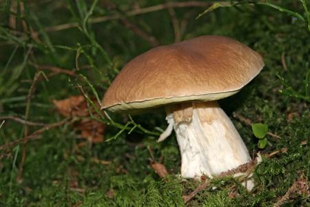 fungous: edible boletus