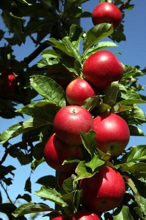 pommier arbre: R�colte des pommes Banque d'images