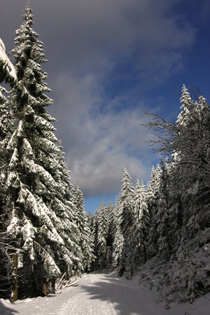 deep powder snow: Winter forest
