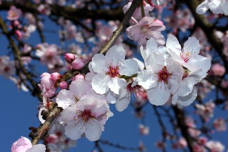 almond bud: Almond tree blossoms