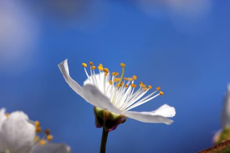 fruit tree: Fruit tree blossoms