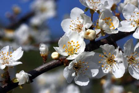 arbre fruitier: fleurs d'arbres fruitiers