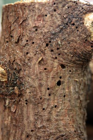 vermin: woodworm Stock Photo
