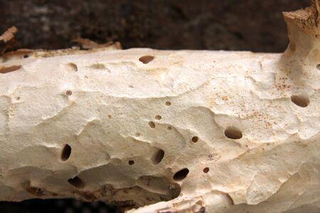 worm infestation: woodworm Stock Photo