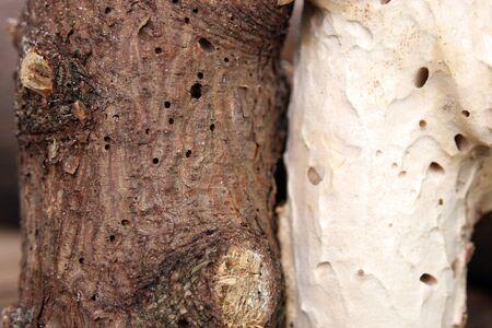 varmint: woodworm Stock Photo