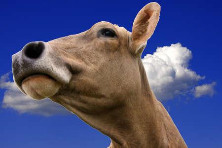 cattle breeding: Kuh mit blauem Himmel