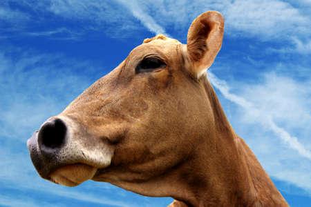 mit: Kuh mit blauem Himmel
