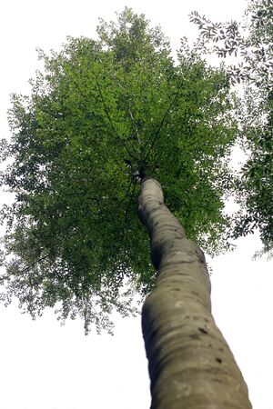 Beech in the worms eye view