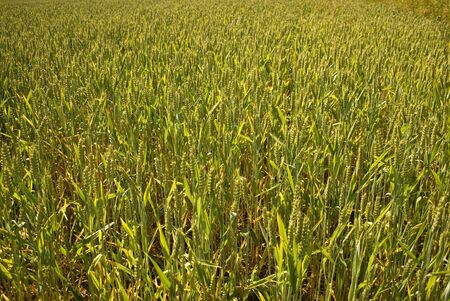 young wheat not ready to be harvest yet photo