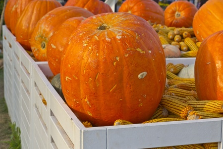 Pumpkin on a pile of corn,Transport is poor. photo