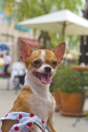 Chihuahua looking something. Stock Photo - 12085416