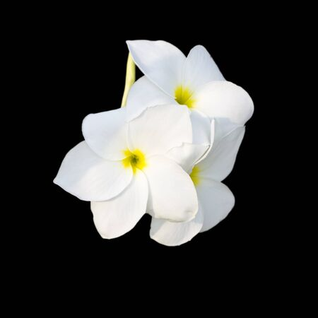 Tropical flowers frangipani (plumeria) isolated on black photo