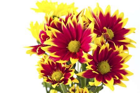 Closeup of pink daisy-gerbera  Stock Photo