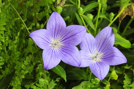 beautiful flower( Platycodon grandiflorus) Stock Photo