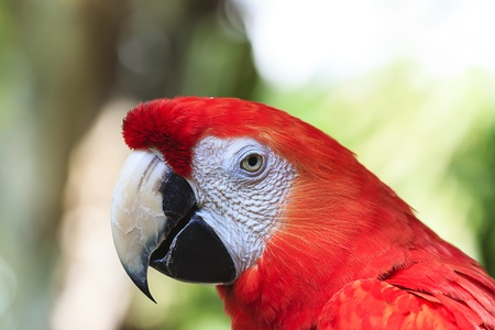 scarlet: scarlet macaw